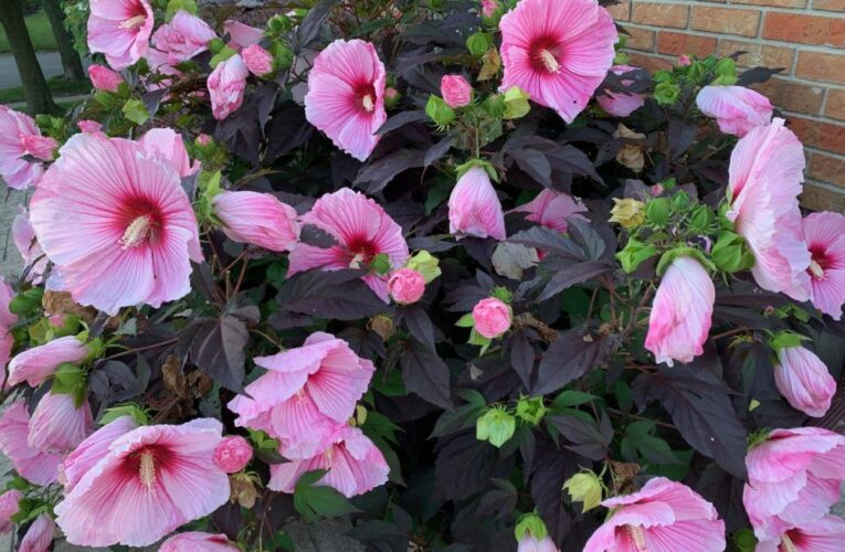 Growing Concerns: Hibiscus adds colour to late-season garden